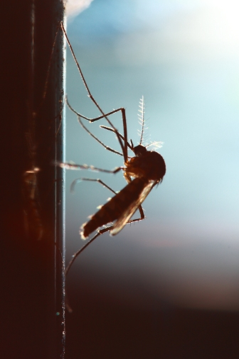 Hiv smittar inte genom myggor.