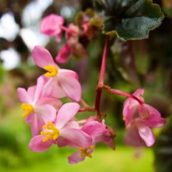 Begonia / Hirtella är en krukväxt med rosa, vita eller röda blommor. Själva blomman är ganska tjock och lite vaxad på ytan. Smaken är lite såpig och syrlig och påminner om smaken på harsyra. Addera i mat som ska ha ett tillskott av härlig färg och fräsch syrlighet.