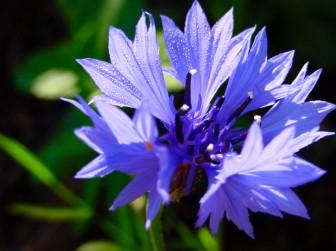 Blåklint växer gärna i vägkanter och på åkrar (plocka inte växter intill vägkanten, de utsätts både för avgaser, smuts och hundkiss). De blåa fina bladen är dekorativa att blanda ner både som färska och torkade i diverse maträtter. Använd som dekoration på tårtan, blanda ner i salladen eller testa denna hemmagjorda honungsmüsli med blåbär och blåklint.