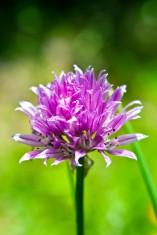 Gräslöksblommor Små fina, lila blommor kommer längst ut på gräslöksstråna när de börjar bli tillräckligt grova. Plocka dessa små sötingar och toppa en grönsallad, gratäng eller en potatissallad. Ska rätten in i ugnen, lägg då på blommorna efter. Noppa av dem en och en så blir det finast. Hur det smakar? Som söt lök – jättegott.