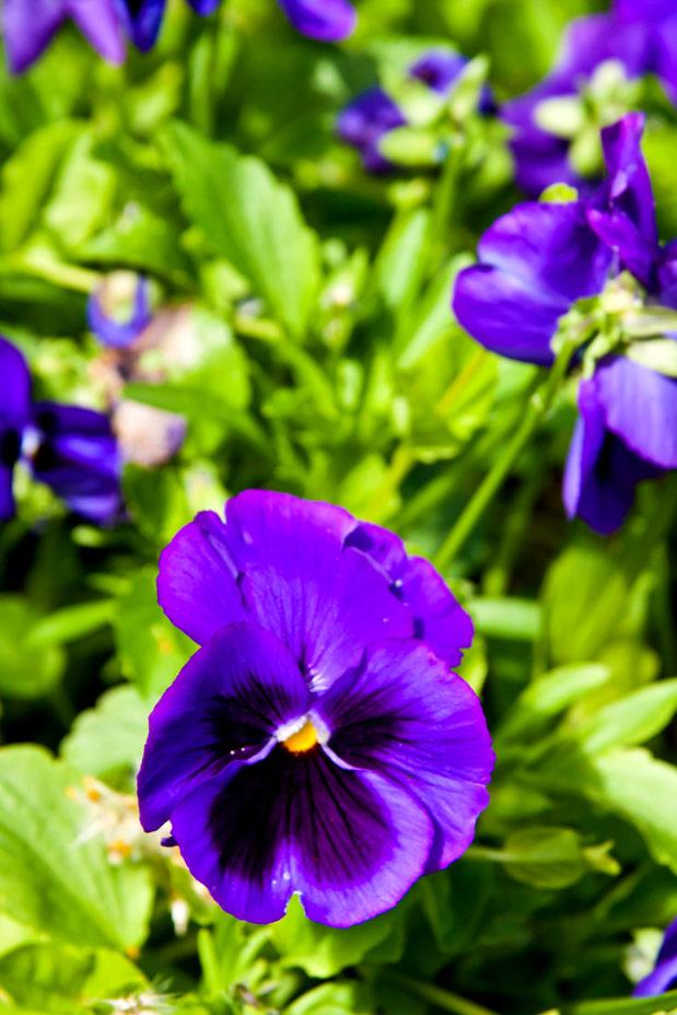Pensé är ettårig växt som man kan köpa i butik under våren. Dessa frösås sedan till efterföljande år. Plockar man bort de vissna blommorna fortsätter Pensén att blomma under hela sommaren. Blomman ser lite ut som en stor viol och förekommer i olika färger. Blommorna kan ätas hela såväl som snoppade kronblad.