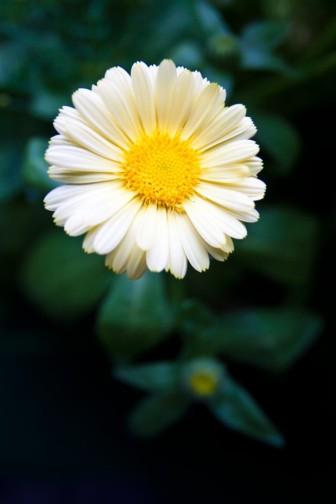 Ringblomman är en vacker blomma som påminner lite om en prästkrage. Färgerna brukar variera från ljust gult till mörkt orange. Blomman kan användas hel i maten men det är även fint att snoppa kronbladen och dekorera sallader och bakverk med.