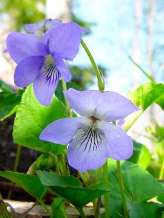 Viol Vanligt är att kandera violer och ha på olika bakverk och tårtor. Doppa då bara blomman i vispad äggvita och pudra sedan socker över. Att ha ner några blommor i en grön sallad, eller varför inte potatissalladen, är också fint.
