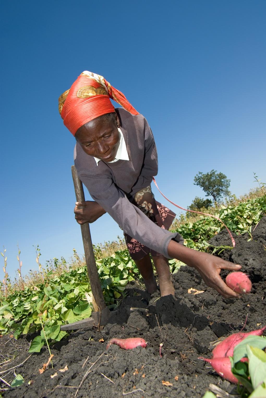 Fri Koop UG + MO (vid större MO:s, kontakta fotografen) I Zimbabwe påverkas allas vardag av hiv. Hela 20 procent av befolkningen är smittade. Det projekt som Kooperation Utan Gränser stödjer i området lär ut effektivare odlingsmetoder och introducerar lättodlade jobbar med lättodlade grödor för att säkra hivdrabbade familjers tillgång till mat. som Sötpotatis och Kassava De kräver inte mycket arbete, är väldigt närings- och proteinrika och tar kort tid att skörda. Idealiskt för familjer med få vuxna, eller de som måste ägna mycket tid åt att ta hand om de sjuka. Se mittuppslaget i Utsikten nr 3, 2007, för mer info. Gröda, Kvinna, Åker Landsbygdsutveckling, HIV-Aids, Zimbabwe