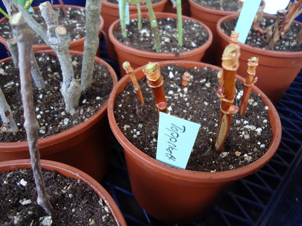 Vintersticklingar kan tas fram tills knopparna slår ut, medan växterna fortfarande är i vila.